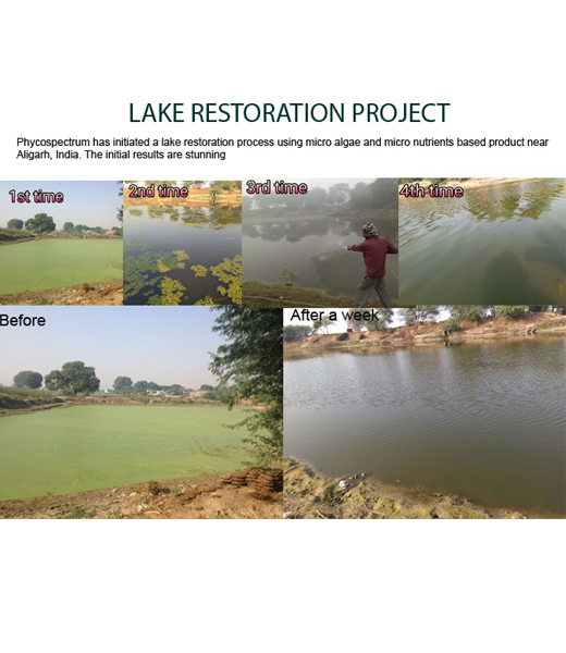 Lake restoration using micro algae technique